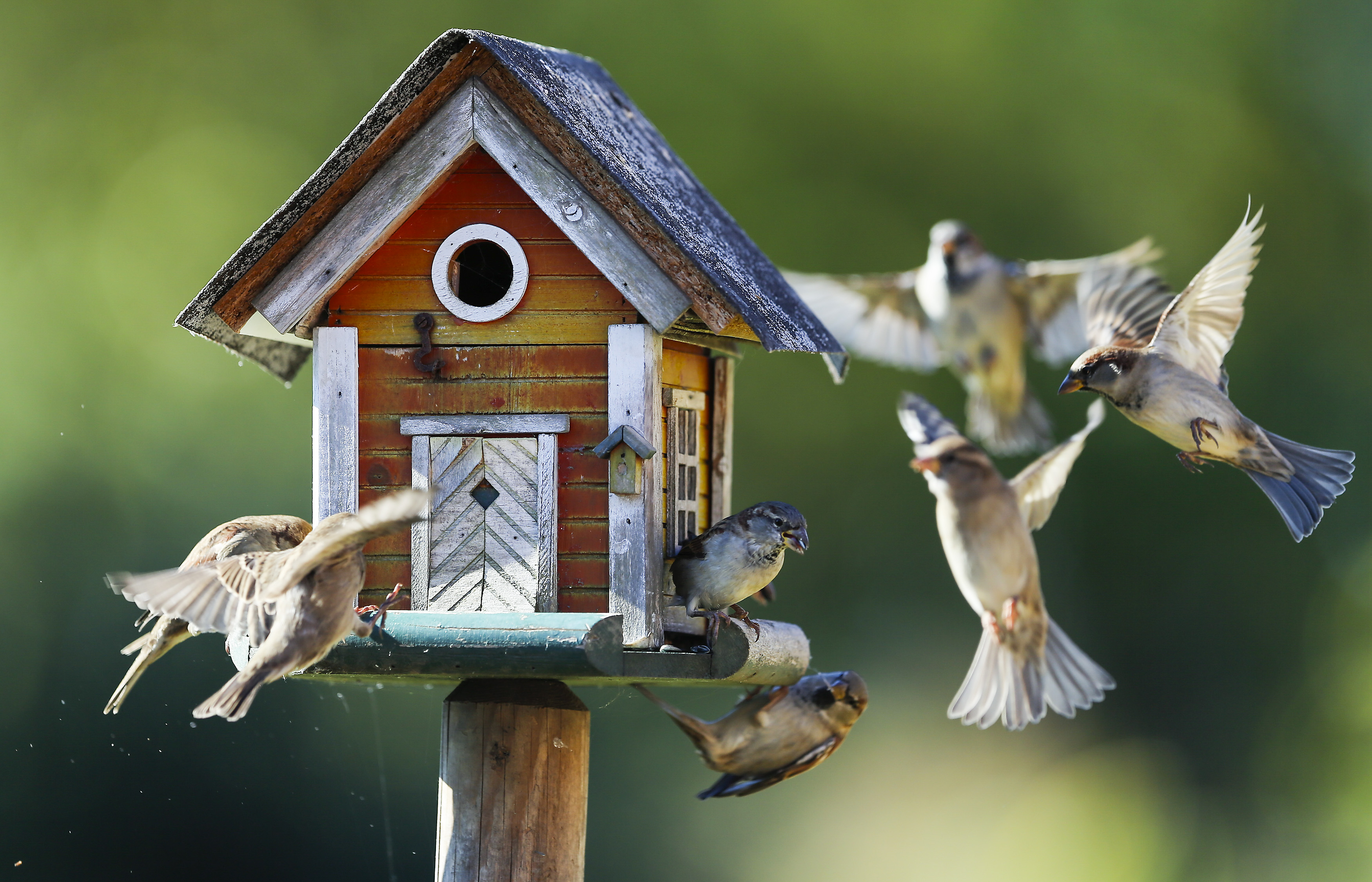 Sparrows fly around a bird feeder in Putgarten, Germany, September 29, 2015.